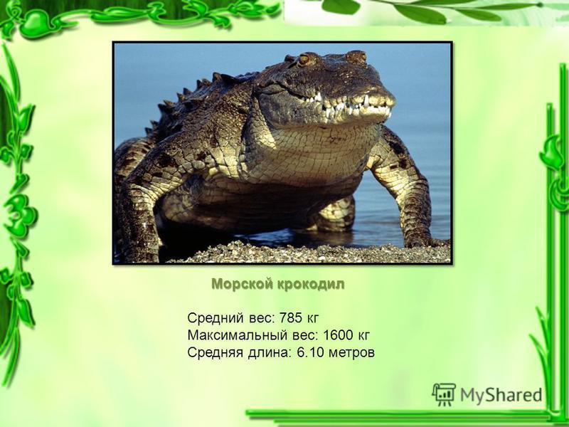 Морской крокодил Средний вес: 785 кг Максимальный вес: 1600 кг Средняя длина: 6.10 метров