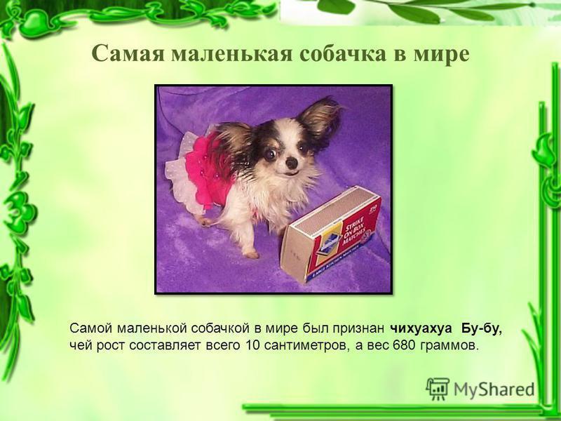 Самая маленькая собачка в мире Самой маленькой собачкой в мире был признан чихуахуа Бу-бу, чей рост составляет всего 10 сантиметров, а вес 680 граммов.