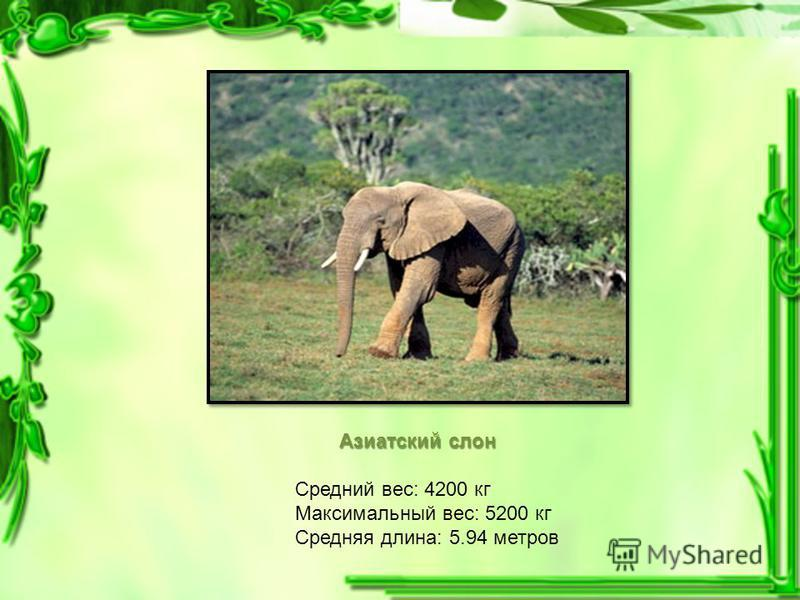 Азиатский слон Средний вес: 4200 кг Максимальный вес: 5200 кг Средняя длина: 5.94 метров