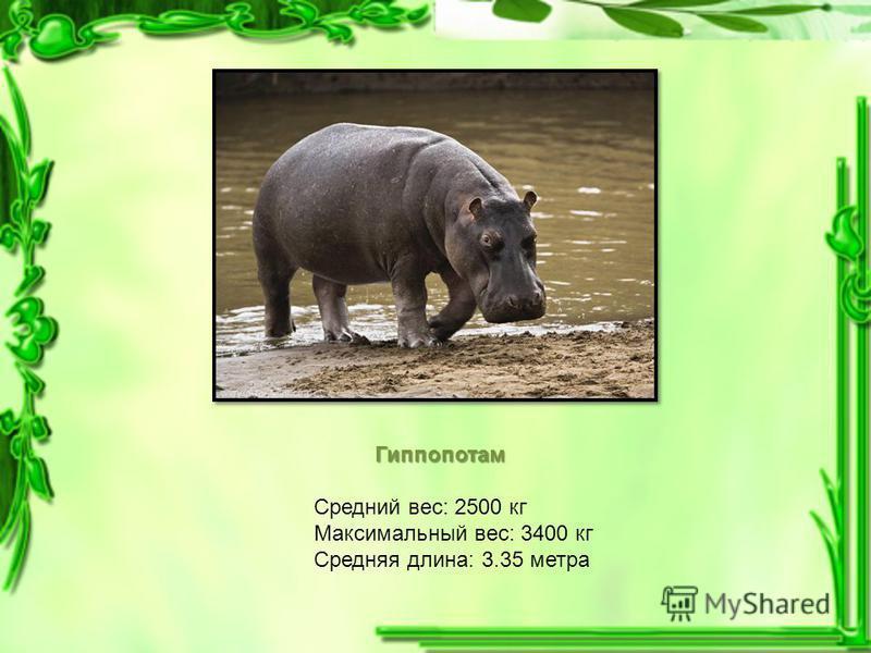 Гиппопотам Средний вес: 2500 кг Максимальный вес: 3400 кг Средняя длина: 3.35 метра