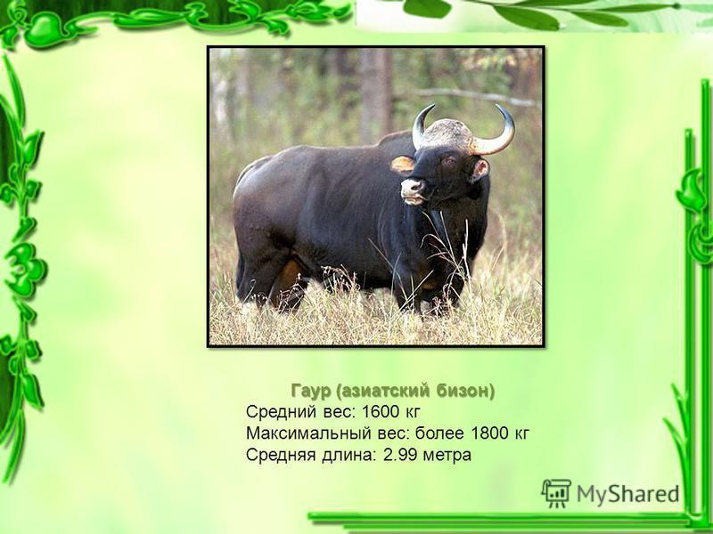 Гаур (азиатский бизон) Гаур (азиатский бизон) Средний вес: 1600 кг Максимальный вес: более 1800 кг Средняя длина: 2.99 метра