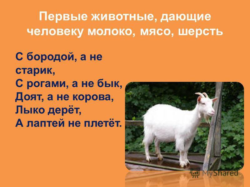 Первые животные, дающие человеку молоко, мясо, шерсть С бородой, а не старик, С рогами, а не бык, Доят, а не корова, Лыко дерёт, А лаптей не плетёт.