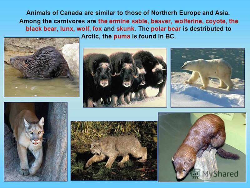 Animals of Canada are similar to those of Northerh Europe and Asia. Among the carnivores are the ermine sable, beaver, wolferine, coyote, the black bear, lunx, wolf, fox and skunk. The polar bear is destributed to Arctic, the puma is found in BC.