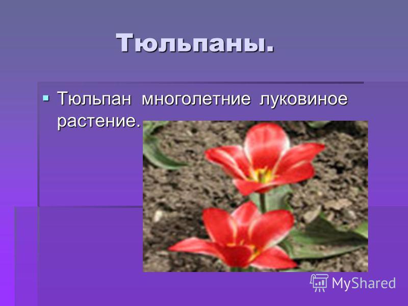Тюльпаны. Тюльпаны. Тюльпан многолетние луковичное растение. Тюльпан многолетние луковичное растение.