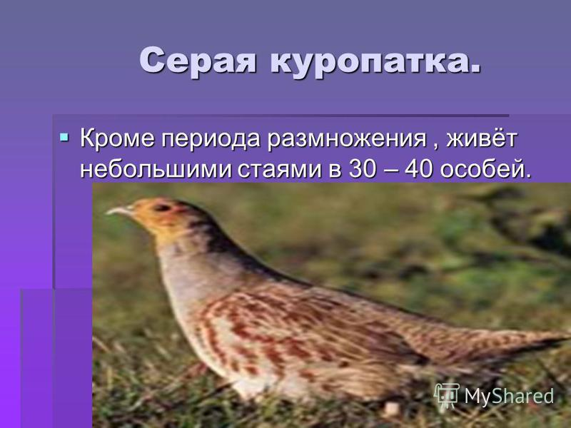 Серая куропатка. Серая куропатка. Кроме периода размножения, живёт небольшими стаями в 30 – 40 особей. Кроме периода размножения, живёт небольшими стаями в 30 – 40 особей.