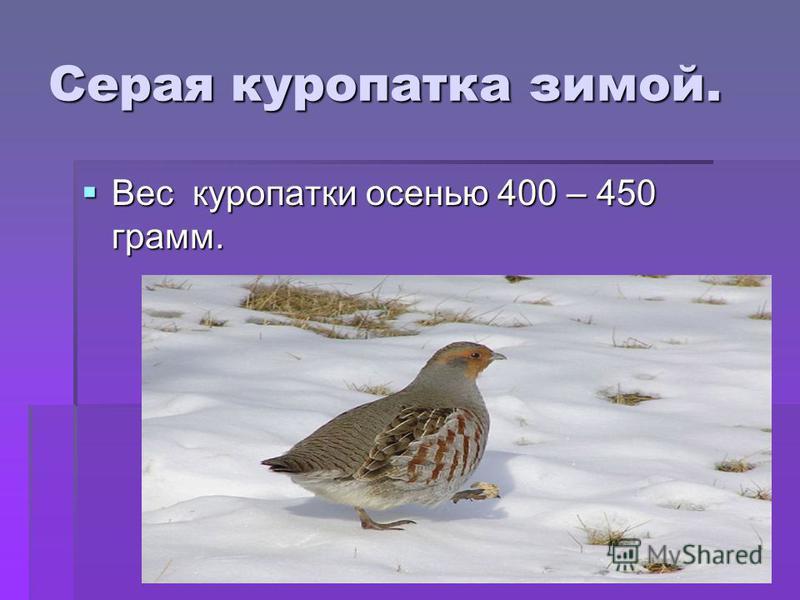 Серая куропатка зимой. Вес куропатки осенью 400 – 450 грамм. Вес куропатки осенью 400 – 450 грамм.