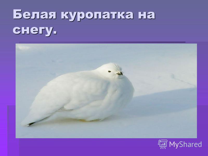 Белая куропатка на снегу.