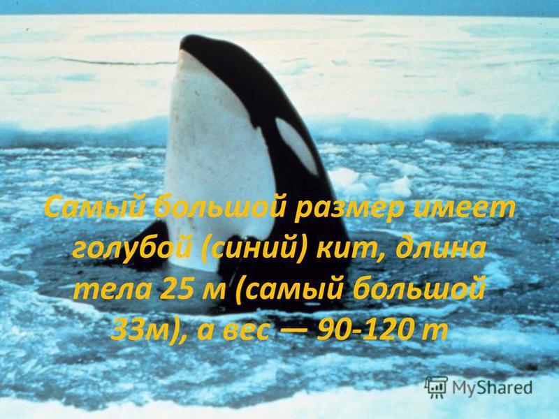 Самый большой размер имеет голубой (синий) кит, длина тела 25 м (самый большой 33 м), а вес 90-120 т