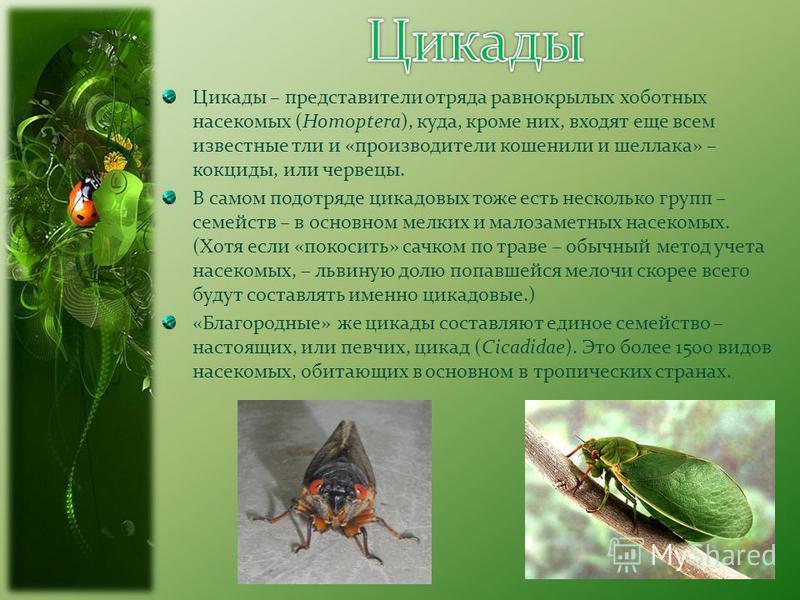 Цикады – представители отряда равнокрылых хоботных насекомых (Homoptera), куда, кроме них, входят еще всем известные тли и «производители кошенили и шеллака» – кокциды, или червецы. В самом подотряде цикадовых тоже есть несколько групп – семейств – в