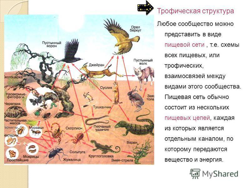 Трофическая структура Любое сообщество можно представить в виде пищевой сети, т.е. схемы всех пищевых, или трофических, взаимосвязей между видами этого сообщества. Пищевая сеть обычно состоит из нескольких пищевых цепей, каждая из которых является от