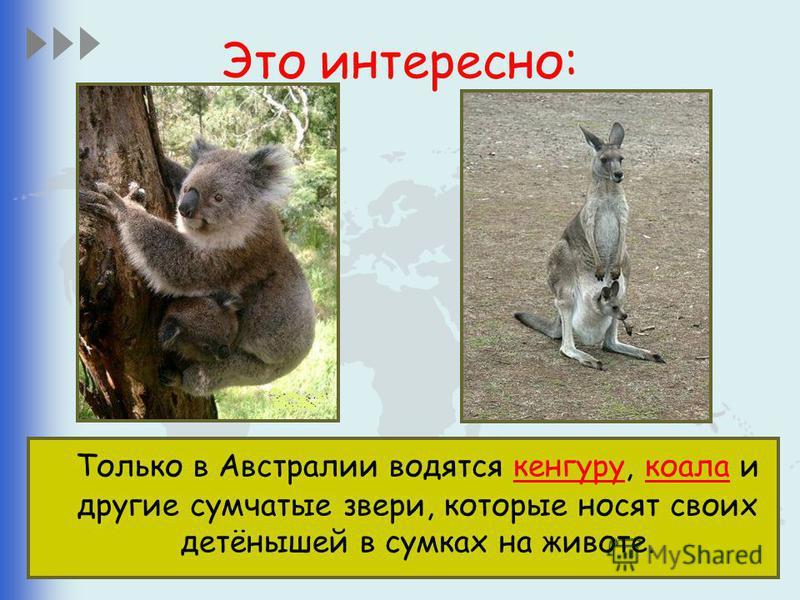 Это интересно: Только в Австралии водятся кенгуру, коала и другие сумчатые звери, которые носят своих детёнышей в сумках на животе.