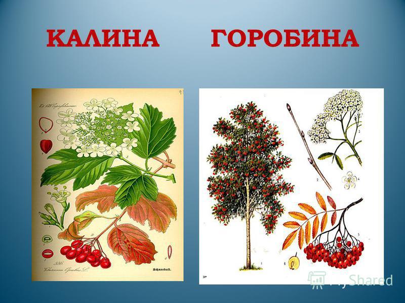 КАЛИНА ГОРОБИНА