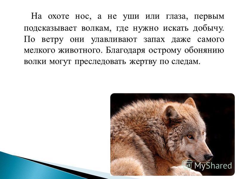 На охоте нос, а не уши или глаза, первым подсказывает волкам, где нужно искать добычу. По ветру они улавливают запах даже самого мелкого животного. Благодаря острому обонянию волки могут преследовать жертву по следам.