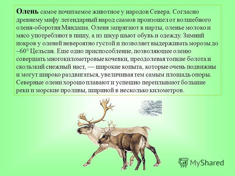 Олень самое почитаемое животное у народов Севера. Согласно древнему мифу легендарный народ саамов произошел от волшебного оленя-оборотня Мяндаша. Оленя запрягают в нарты, оленье молоко и мясо употребляют в пищу, а из шкур шьют обувь и одежду. Зимний