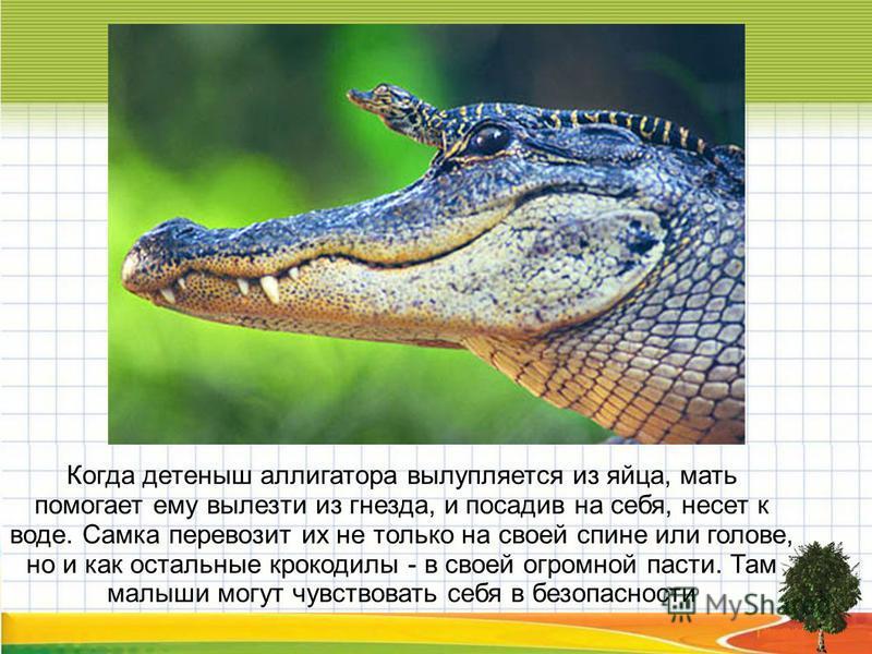 Когда детеныш аллигатора вылупляется из яйца, мать помогает ему вылезти из гнезда, и посадив на себя, несет к воде. Самка перевозит их не только на своей спине или голове, но и как остальные крокодилы - в своей огромной пасти. Там малыши могут чувств