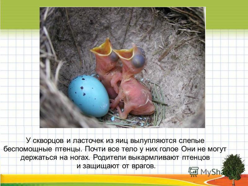 У скворцов и ласточек из яиц вылупляются слепые беспомощные птенцы. Почти все тело у них голое Они не могут держаться на ногах. Родители выкармливают птенцов и защищают от врагов.