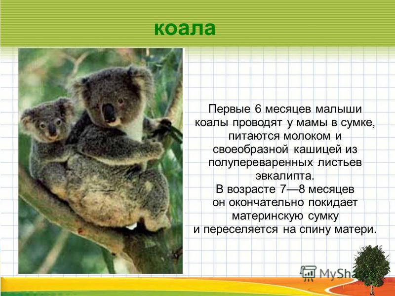 Первые 6 месяцев малыши коалы проводят у мамы в сумке, питаются молоком и своеобразной кашицей из полупереваренных листьев эвкалипта. В возрасте 78 месяцев он окончательно покидает материнскую сумку и переселяется на спину матери. коала