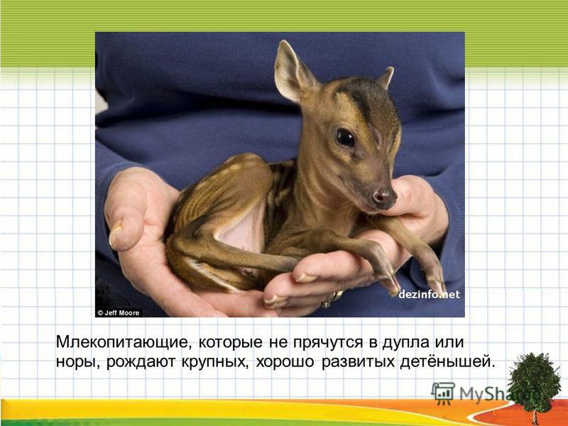 Млекопитающие, которые не прячутся в дупла или норы, рождают крупных, хорошо развитых детёнышей.