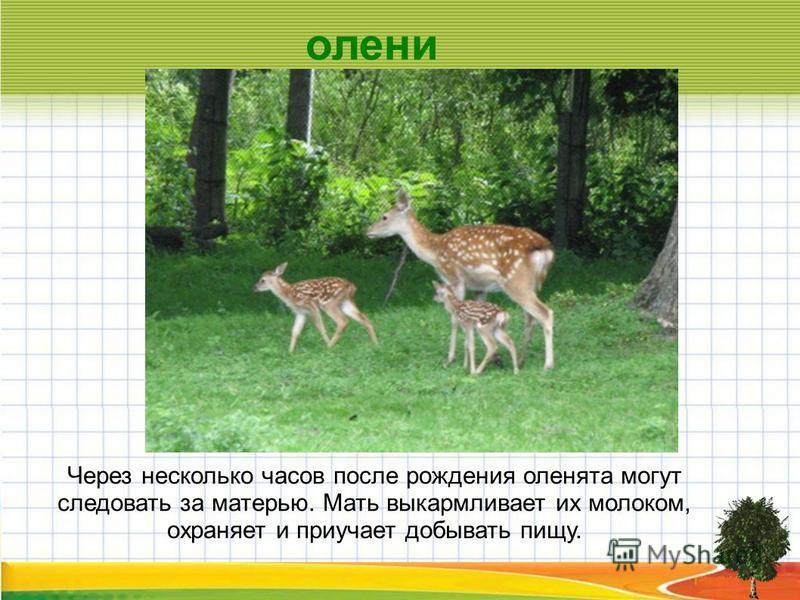 Через несколько часов после рождения оленята могут следовать за матерью. Мать выкармливает их молоком, охраняет и приучает добывать пищу. олени