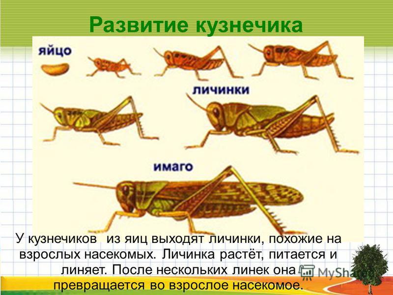 Развитие кузнечика У кузнечиков из яиц выходят личинки, похожие на взрослых насекомых. Личинка растёт, питается и линяет. После нескольких линек она превращается во взрослое насекомое.