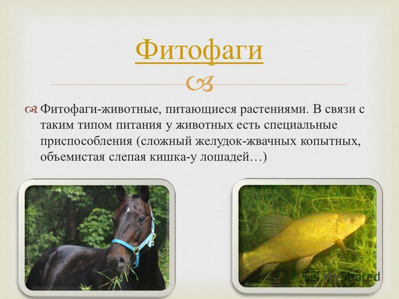 Фитофаги - животные, питающиеся растениями. В связи с таким типом питания у животных есть специальные приспособления ( сложный желудок - жвачных копытных, объемистая слепая кишка - у лошадей …) Фитофаги