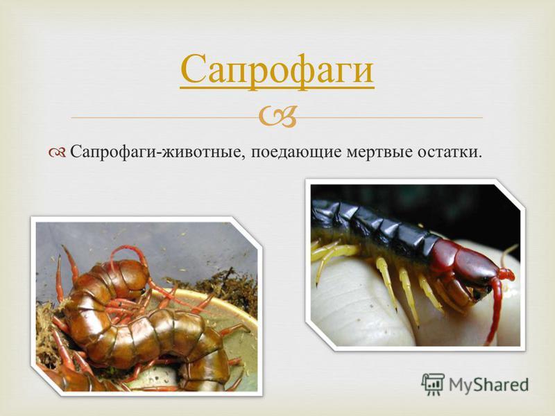 Сапрофаги - животные, поедающие мертвые остатки. Сапрофаги