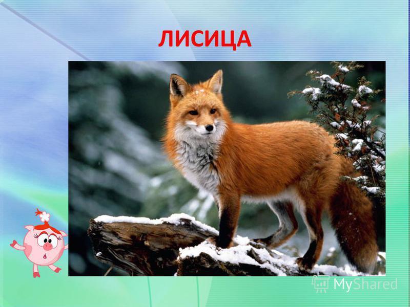 ЛИСИЦА Хвост пушистый, мех золотистый, В лесу живёт, кур в деревне крадёт.