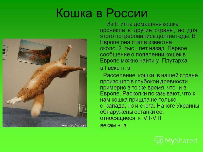 Кошка в России Из Египта домашняя кошка проникла в другие страны, но для этого потребовались долгие годы. В Европе она стала известна около 2 тыс. лет назад. Первое сообщение о появлении кошек в Европе можно найти у Плутарха в I веке н. э. Расселение