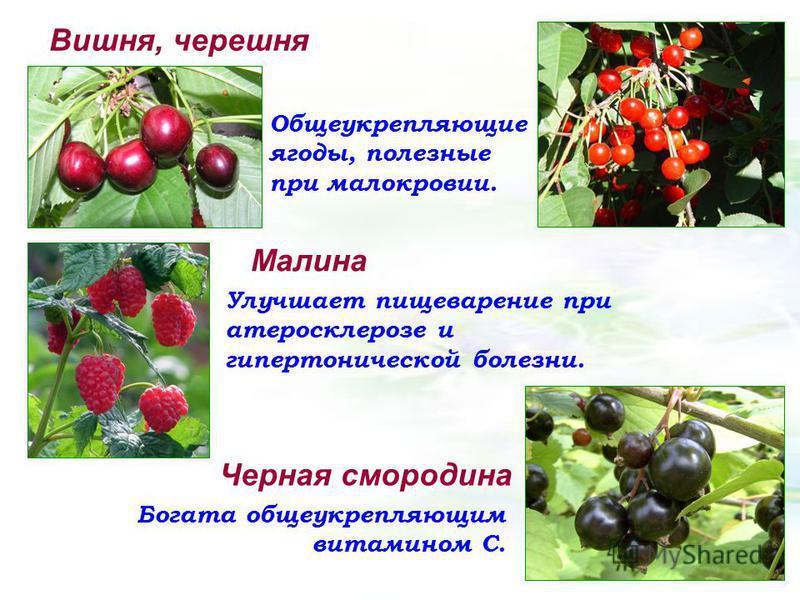 Вишня, черешня Общеукрепляющие ягоды, полезные при малокровии. Малина Улучшает пищеварение при атеросклерозе и гипертонической болезни. Черная смородина Богата общеукрепляющим витамином С.