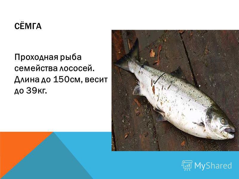 СЁМГА Проходная рыба семейства лососей. Длина до 150 см, весит до 39 кг.