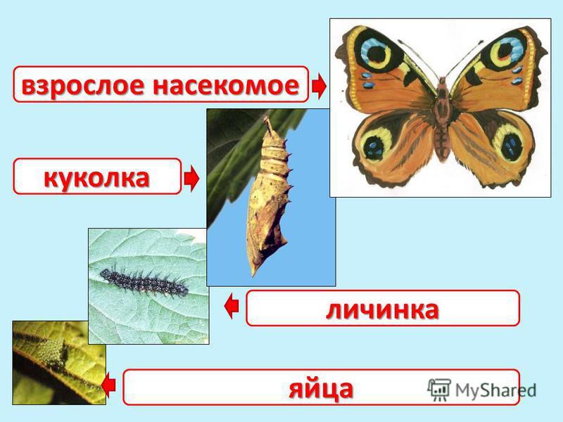 яйца личинка куколка взрослое насекомое