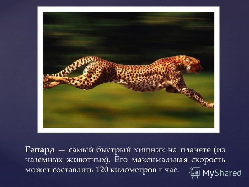 Гепард самый быстрый хищник на планете (из наземных животных). Его максимальная скорость может составлять 120 километров в час.