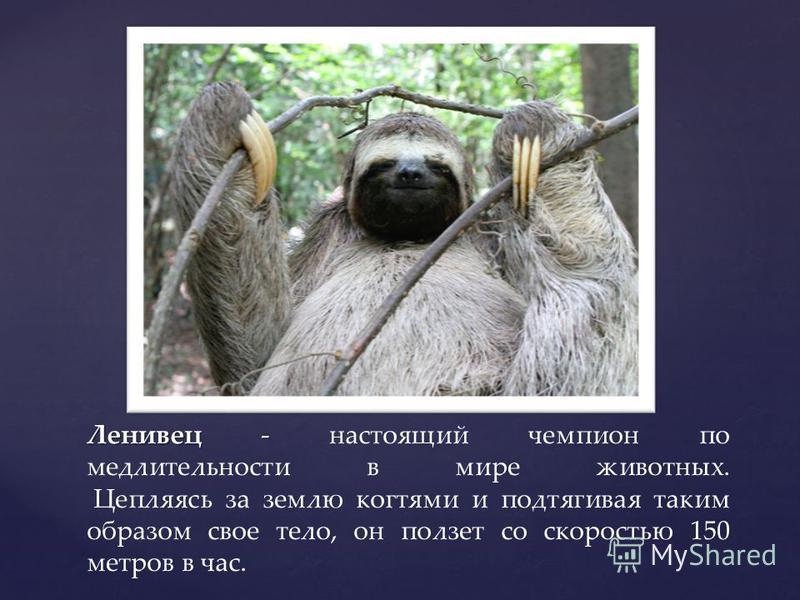 Ленивец - Ленивец - настоящий чемпион по медлительности в мире животных. Цепляясь за землю когтями и подтягивая таким образом свое тело, он ползет со скоростью 150 метров в час.