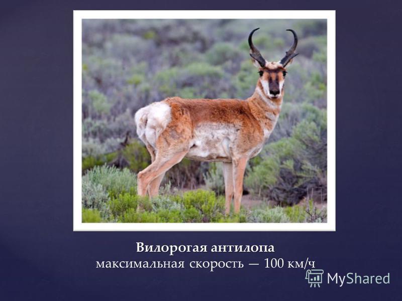 Вилорогая антилопа Вилорогая антилопа максимальная скорость 100 км/ч