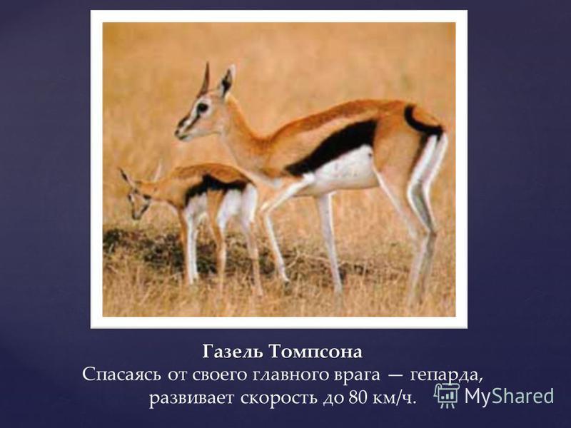 Газель Томпсона Газель Томпсона Спасаясь от своего главного врага гепарда, развивает скорость до 80 км/ч.
