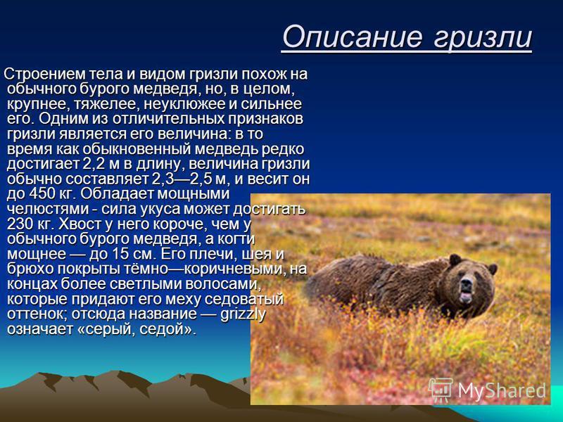 Описание гризли Строением тела и видом гризли похож на обычного бурого медведя, но, в целом, крупнее, тяжелее, неуклюжее и сильнее его. Одним из отличительных признаков гризли является его величина: в то время как обыкновенный медведь редко достигает