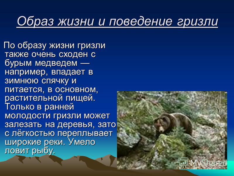 Образ жизни и поведение гризли По образу жизни гризли также очень сходен с бурым медведем например, впадает в зимнюю спячку и питается, в основном, растительной пищей. Только в ранней молодости гризли может залезать на деревья, зато с лёгкостью переп