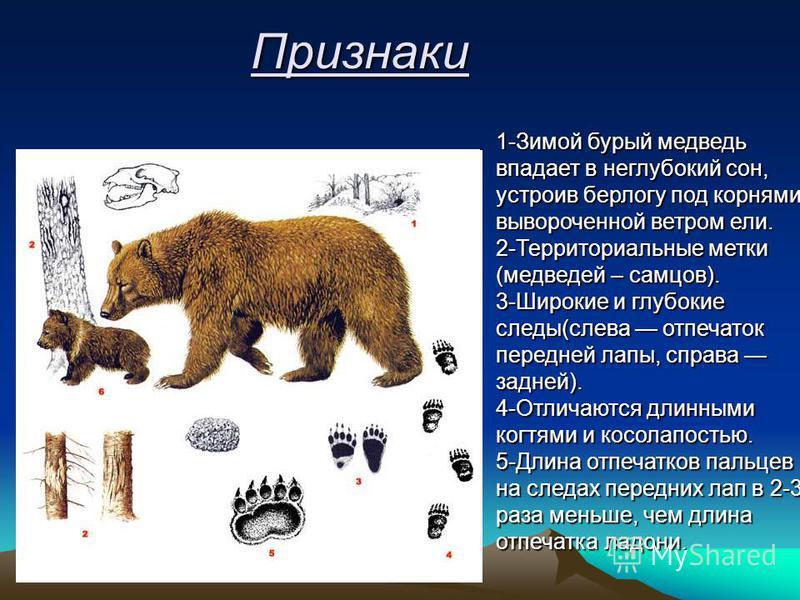 Признаки 1-Зимой бурый медведь впадает в неглубокий сон, устроив берлогу под корнями вывороченной ветром ели. 2-Территориальные метки (медведей – самцов). 3-Широкие и глубокие следы(слева отпечаток передней лапы, справа задней). 4-Отличаются длинными