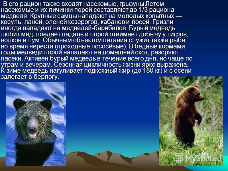 В его рацион также входят насекомые, грызуны Летом насекомые и их личинки порой составляют до 1/3 рациона медведя. Крупные самцы нападают на молодых копытных косуль, ланей, оленей козерогов, кабанов и лосей. Гризли иногда нападают на медведей-барибал