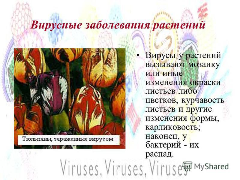 Вирусные заболевания растений Вирусы у растений вызывают мозаику или иные изменения окраски листьев либо цветков, курчавость листьев и другие изменения формы, карликовость; наконец, у бактерий - их распад.