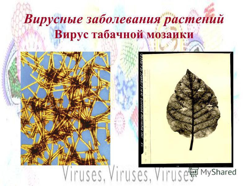 Вирусные заболевания растений Вирус табачной мозаики