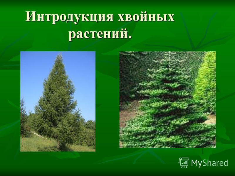 Интродукция хвойных растений.