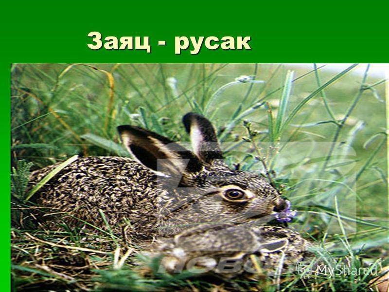 Заяц - русак Заяц - русак