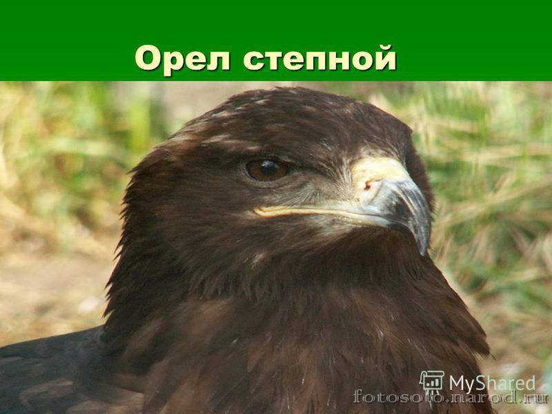 Орел степной Орел степной
