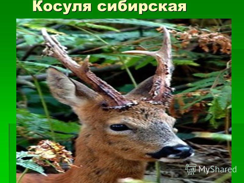Косуля сибирская Косуля сибирская