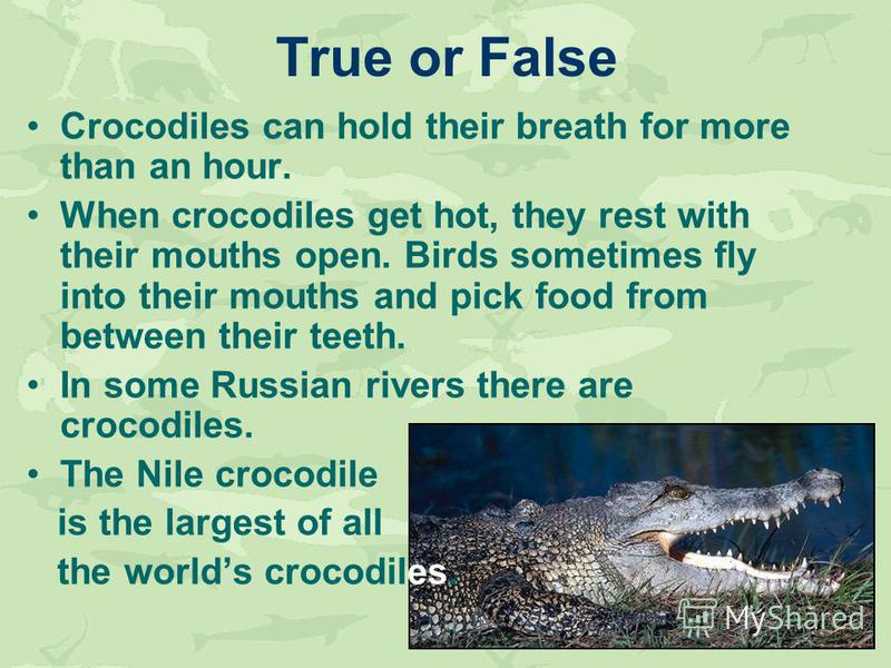 Crocodiles can hold their breath for more than an hour. When crocodiles get hot, they rest with their mouths open. Birds sometimes fly into their mouths and pick food from between their teeth. In some Russian rivers there are crocodiles. The Nile cro