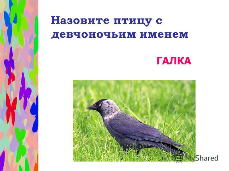 Назовите птицу с девчоночьим именем ГАЛКА