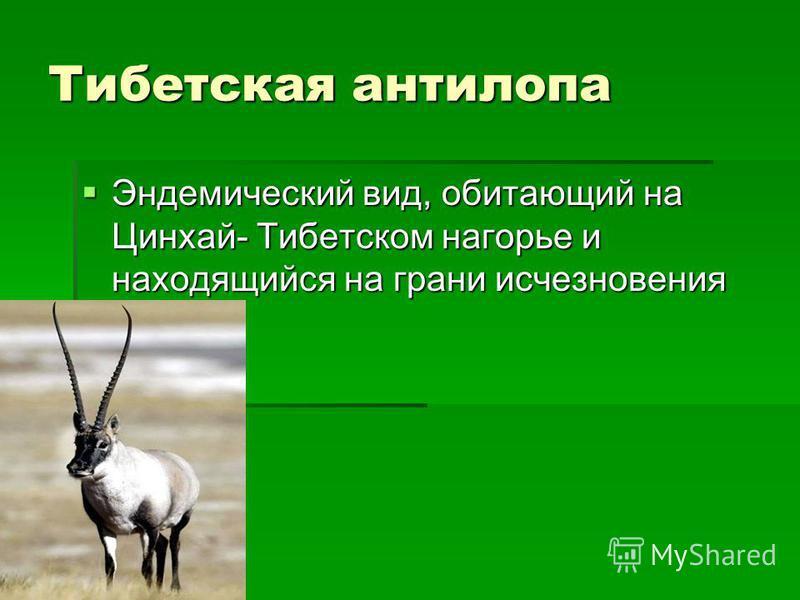 Тибетская антилопа Эндемический вид, обитающий на Цинхай- Тибетском нагорье и находящийся на грани исчезновения Эндемический вид, обитающий на Цинхай- Тибетском нагорье и находящийся на грани исчезновения