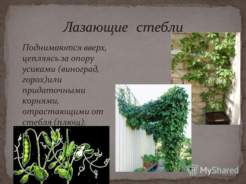 Поднимаются вверх, цепляясь за опору усиками (виноград, горох)или придаточными корнями, отрастающими от стебля (плющ).