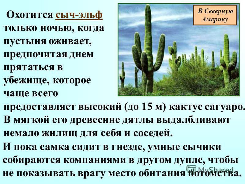 Охотится сыч-эльф только ночью, когда пустыня оживает, предпочитая днем прятаться в убежище, которое чаще всего предоставляет высокий (до 15 м) кактус сагуаро. В мягкой его древесине дятлы выдалбливают немало жилищ для себя и соседей. И пока самка си